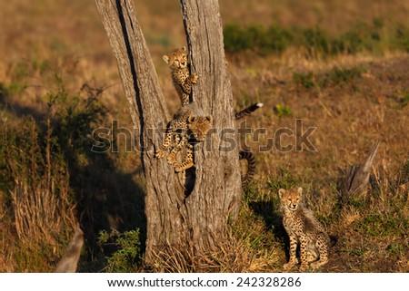 Cheetah cubs like to climb on the tree in Masai Mara, Kenya - stock photo