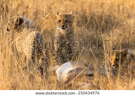 Cheetah cups enjoying a fresh Impala - stock photo