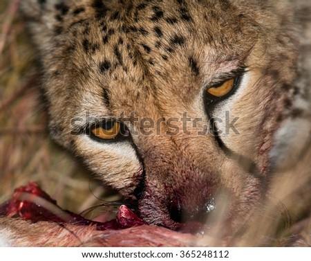 Cheetah eating prey. Close-up. Kenya. Tanzania. Africa. National Park. Serengeti. Maasai Mara. An excellent illustration. - stock photo