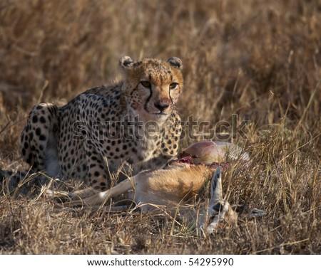 Cheetah eating prey, Serengeti National Park, Tanzania, Africa - stock photo