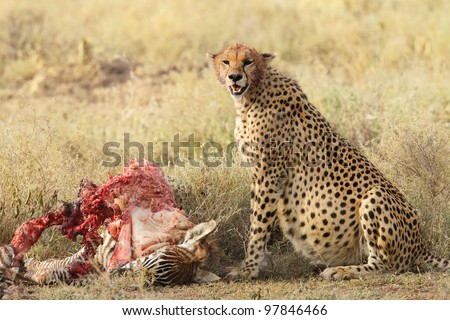 Cheetah eats all. Do I look pregnant ? I told you I could eat it all. - stock photo