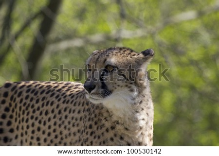 Cheetah Face Close Up