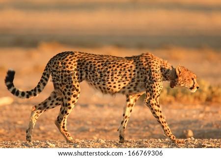 Cheetah, Gepard, South Africa - stock photo