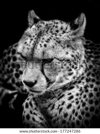 Cheetah Head - stock photo