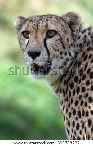 Cheetah head and shoulders portrait against a background of vibrant green grass/Cheetah/Cheetah (Acinonyx Jubatus) - stock photo