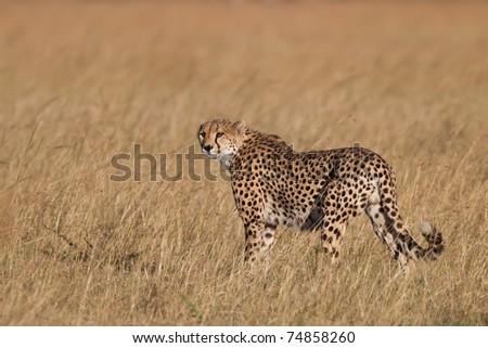 Cheetah hunting in the savanna, Masai Mara, Eastern Africa - stock photo