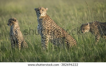 Cheetah Imani with 2 of her cubs - stock photo