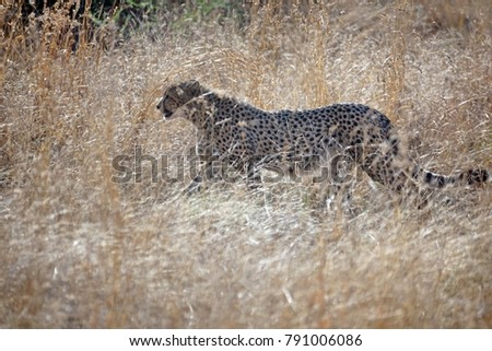 Cheetah in tall grass in Pilanesberg National Park, South Africa