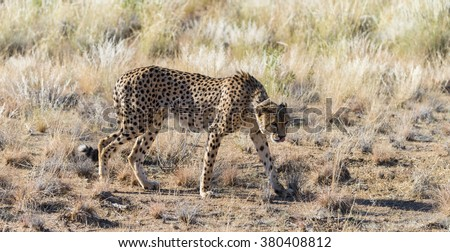 Cheetah in the Etosha National Park (Namibia, close-up shot)