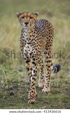 Cheetah in the savanna. Close-up. Kenya. Tanzania. Africa. National Park. Serengeti. Maasai Mara. An excellent illustration.