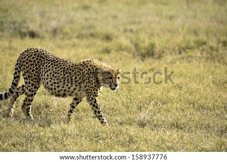 cheetah in the savanna of africa