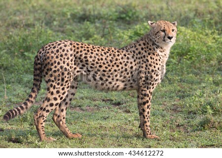 Cheetah in the Serengeti preserve, Tanzania Africa