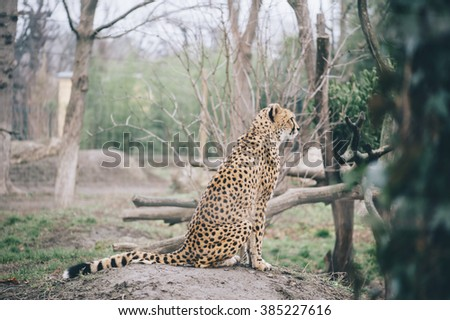 Cheetah in the zoo park - stock photo