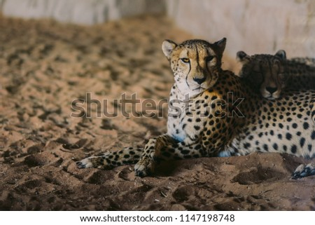 stock-photo-cheetah-is-a-large-cat-of-th