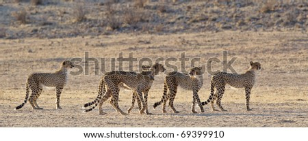 Cheetah, Kalahari Desert, South Africa - stock photo