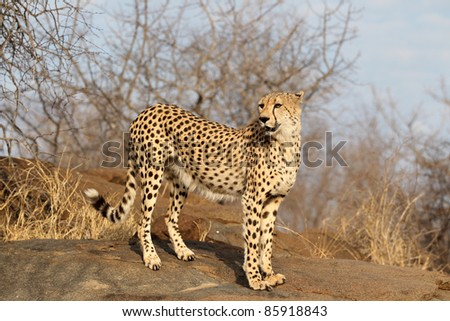 Cheetah looking for prey - stock photo