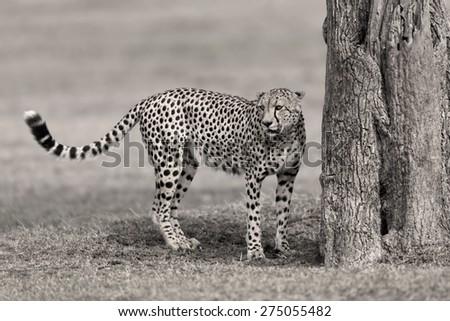 Cheetah male in Masai Mara, Kenya - stock photo
