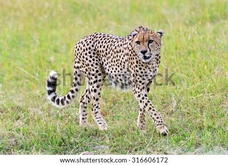Cheetah Masai Mara National Park in Kenya - stock photo