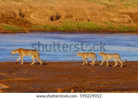 Cheetah mother and cubs at sunrise like to cross the river in Samburu National Reserve, Kenya - stock photo