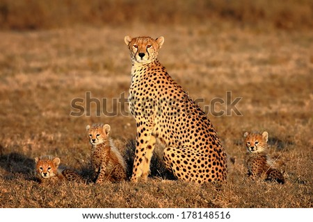 cheetah mother and cubs portrait - stock photo