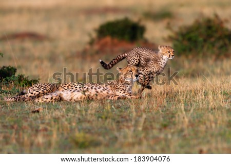 Cheetah mother and running Cheetah cub during playing time with siblings in Masai Mara, Kenya - stock photo