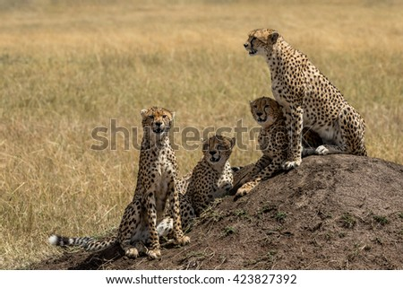 Cheetah mother and three cubs sitting on termite mound watching for prey.  Taken in the Masai Mara Kenya.