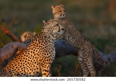 Cheetah mother with cub in the background in the Serengeti, Tanzania - stock photo