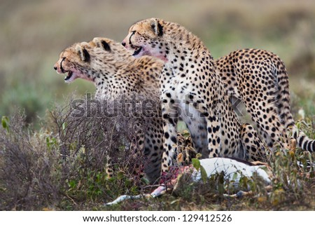 Cheetah mother with cubs and prey - stock photo