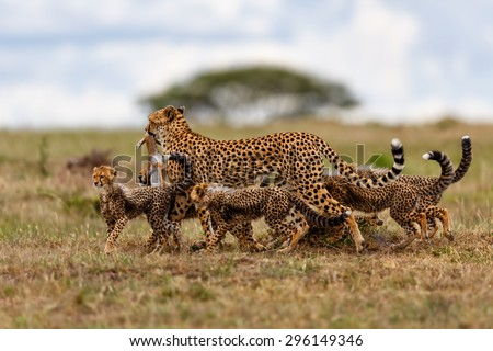 Cheetah mother with prey and her five cubs in Masai Mara, Kenya - stock photo