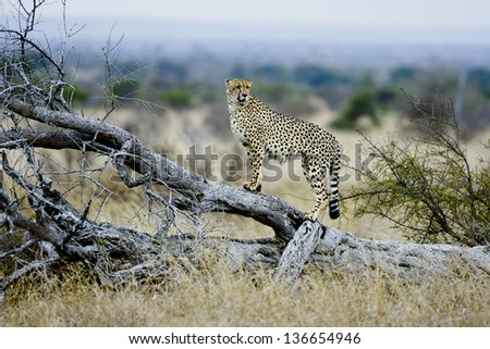 Cheetah on a lookout, Kruger National Park - stock photo