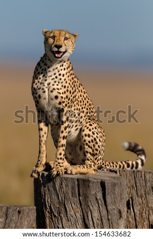 Cheetah on a tree stump in Masai Mara, he is one of three brothers and his mother is Honey - stock photo