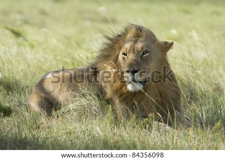 Cheetah on open grassland