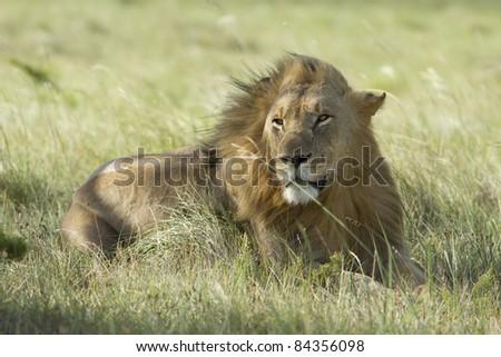 Cheetah on open grassland - stock photo