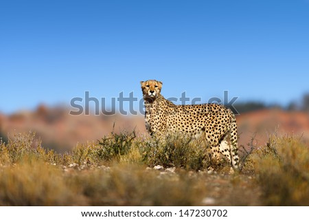 Cheetah on top of a hill  - Kalahari desert - South Africa - stock photo
