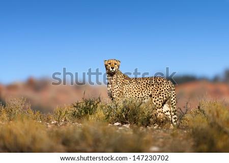 Cheetah on top of a hill  - Kalahari desert - South Africa - stock photo