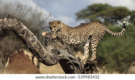 Cheetah perching high and stretching herself before making a warthog kill