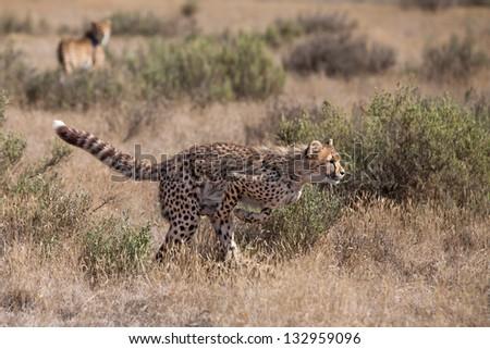 Cheetah Pounce - stock photo