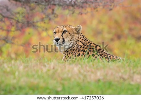Cheetah resting in a grassy area. - stock photo