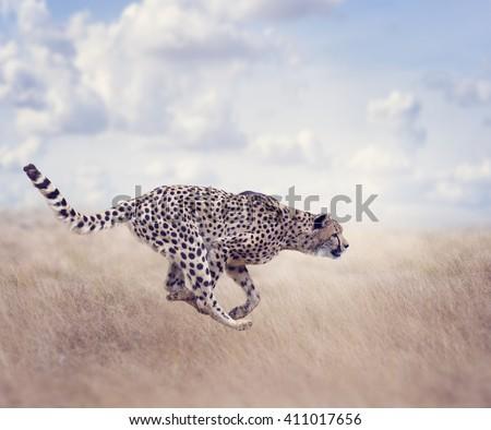 Cheetah  Running in The Grassland - stock photo