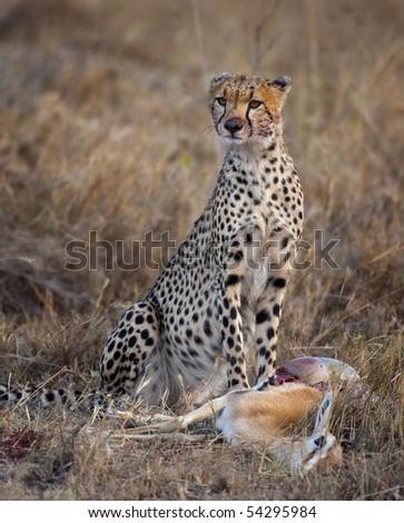 Cheetah sitting and eating prey, Serengeti National Park, Tanzania, Africa - stock photo