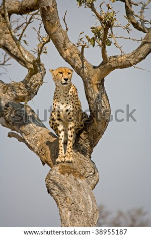 Cheetah sitting in a tree watching for its prey in South Africa - stock photo
