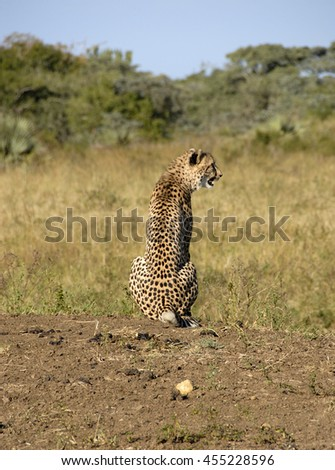 Cheetah sitting on sand mound, South Africa