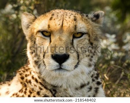 Cheetah Stare II - stock photo
