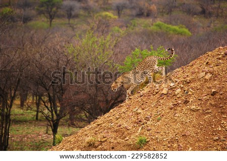 Cheetah walking down hill in Serengeti National Park, Africa - stock photo