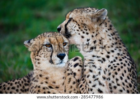 Cheetah wild cat pair grooming and licking each other - stock photo