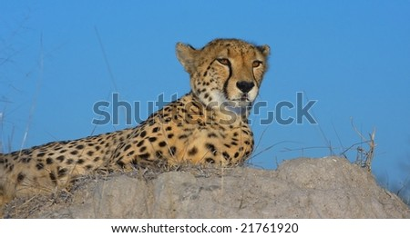 cheetah with blue sky background - stock photo