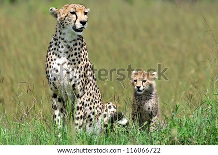 Cheetah with cub, Acinonyx jubatus - stock photo