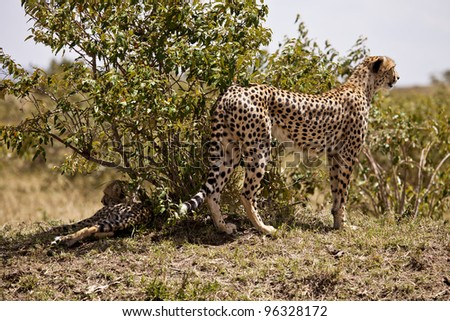 Cheetah with cub - Early Morning Shade
