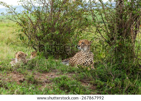 Cheetah with cub in Masai Mara, cheetah, safari,nature, kenya, national - stock photo