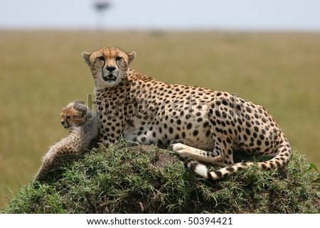 Cheetah with cub resting in the grass with sunlight - stock photo